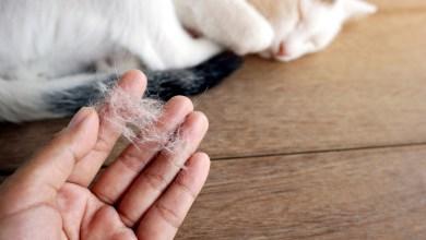 صورة الامراض الجلدية لدى القطط