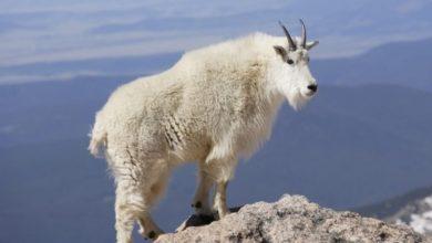 صورة معلومات عن حيوانات الجبال
