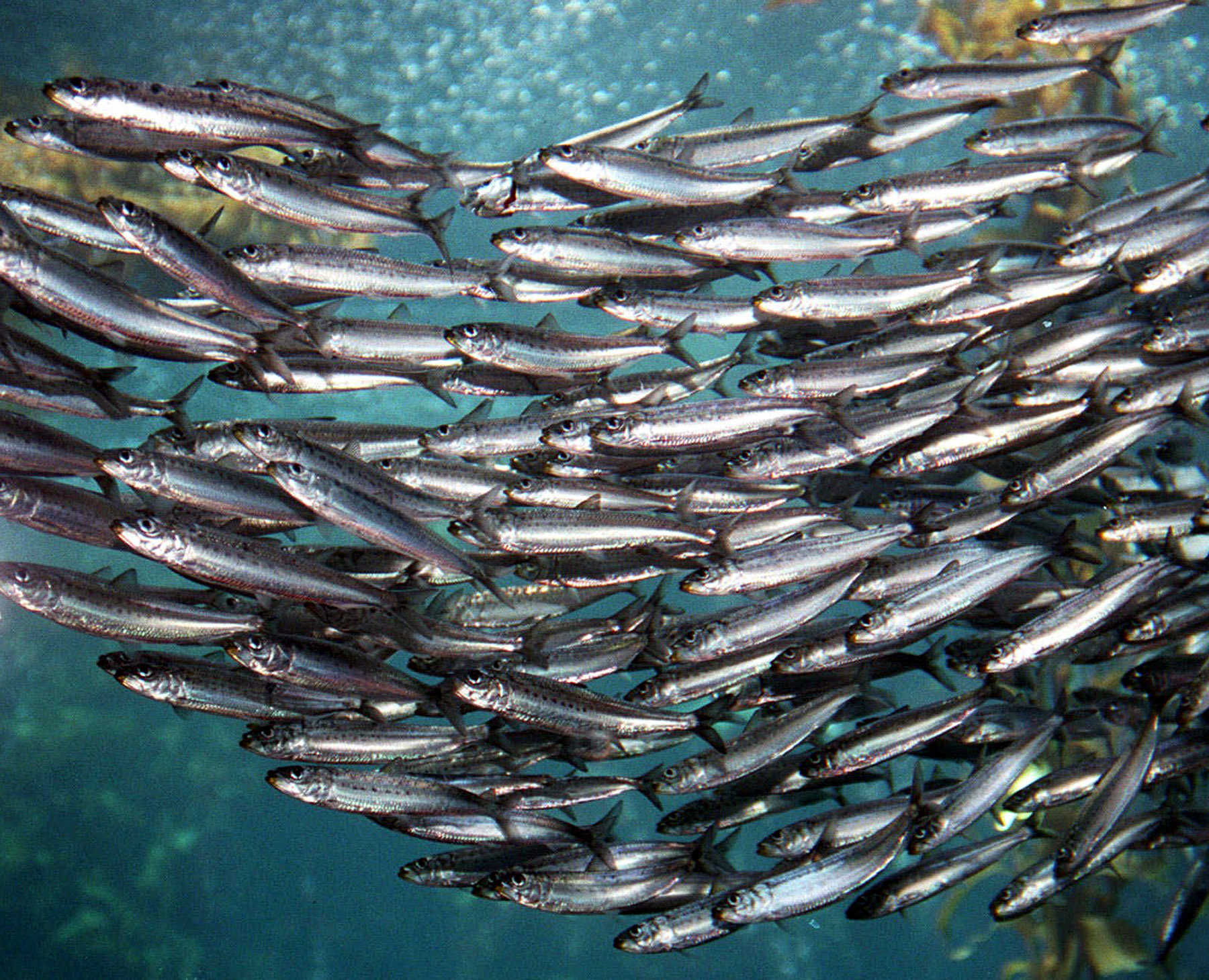 فوائد سمك السردين