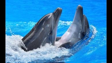 صورة حقائق رائعة عن الدولفين تجعلك تحبهم أكثر