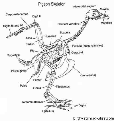 golden eagle skeleton diagram 2001 saturn sc1 radio wiring 10 incredibly weird facts about avians listverse their counter intuitive leg and foot structures