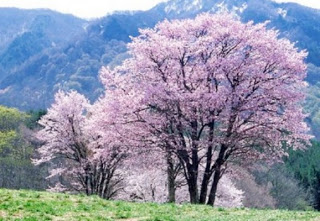 cerejeira_japonesa1