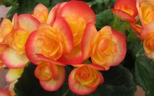 orange-begonia-3880-2560x1600