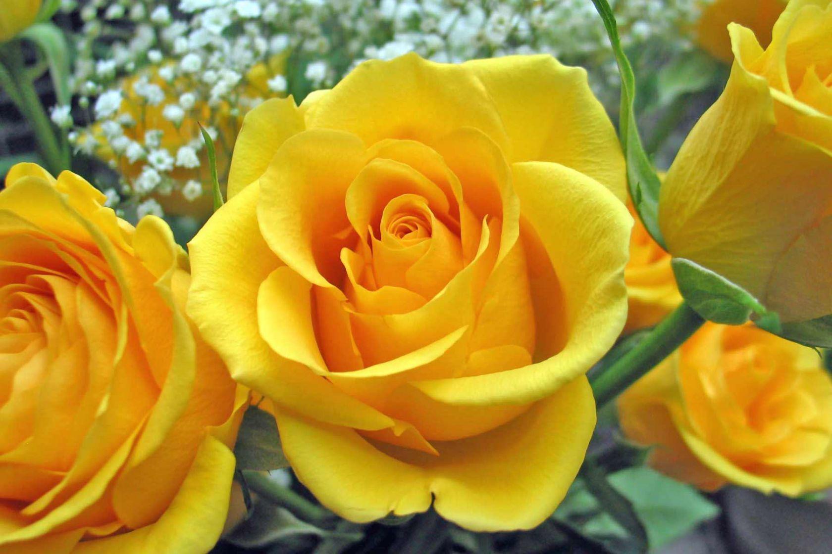 rosa-amarela_2518_1680x1050