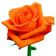 rosa laranja