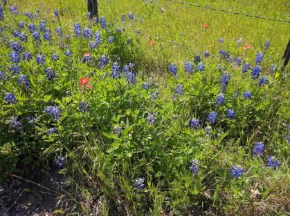Bluebonnet Trail 2