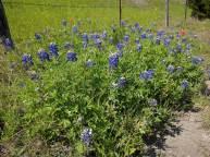 Bluebonnet Trail 3