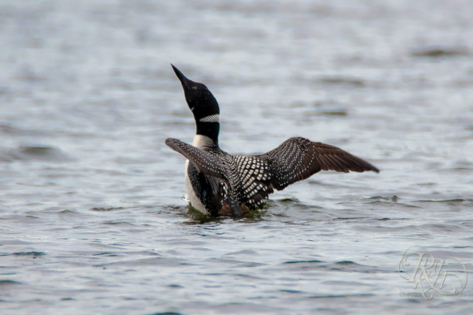 Loon coming out of the water