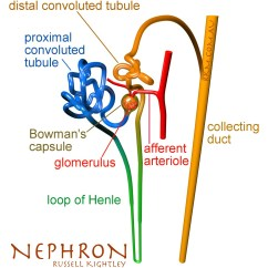 Kidney Nephron Structure Diagram 1979 Dodge Alternator Wiring Renal By Russell Kightley Media