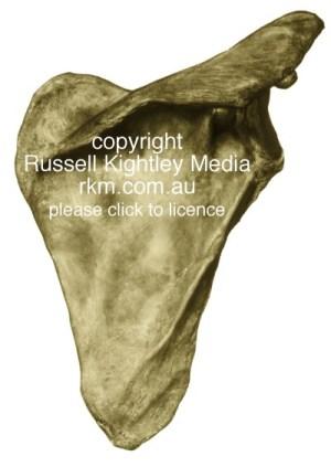 Anatomical and Medical illustration, human shoulder blade