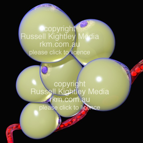 white fat cell diagram 12 24 volt trolling motor battery wiring cells or adipocytes by russell kightley media all images obesity picture of from adipose tissue
