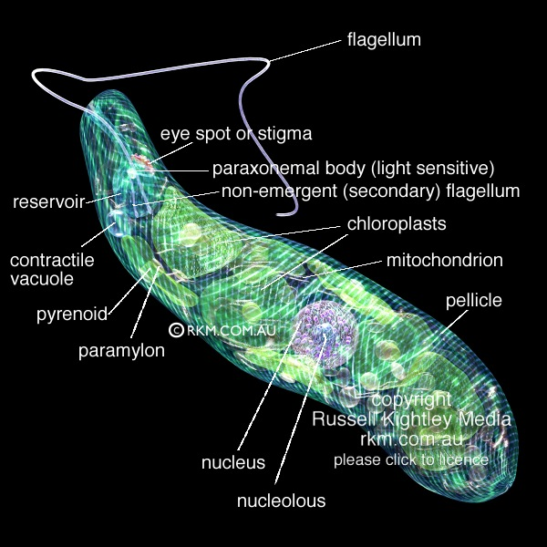 euglena cell diagram with labels nissan pickup radio wiring eyespot labeled schematic of gracilis block pellicle by russell kightley media