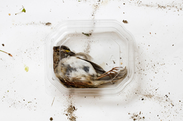 Minnows (Bird in Clear Box)