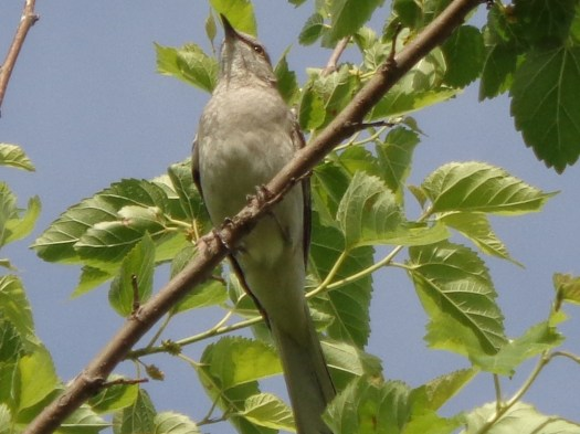 Abi Mockingbird