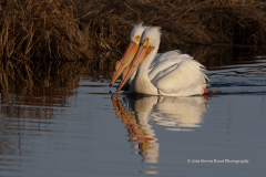 A Mating Pair Of American While Pelicans On East Rush Lake