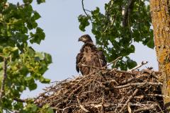 Bald Eagle Eaglet Gazing From Nest Towards East Rush Lake