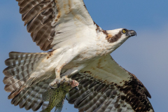 Male Osprey With Prey For The Fledglings, West Rush Lake