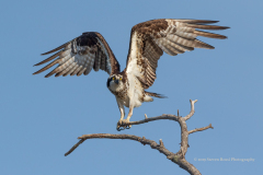 Female Osprey Taking A Perch Near To Her Nest, West Rush Lake