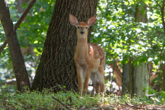 Fawn Greeting Me While Boating Along The Shore Of Rush Lake Island, West Rush Lake