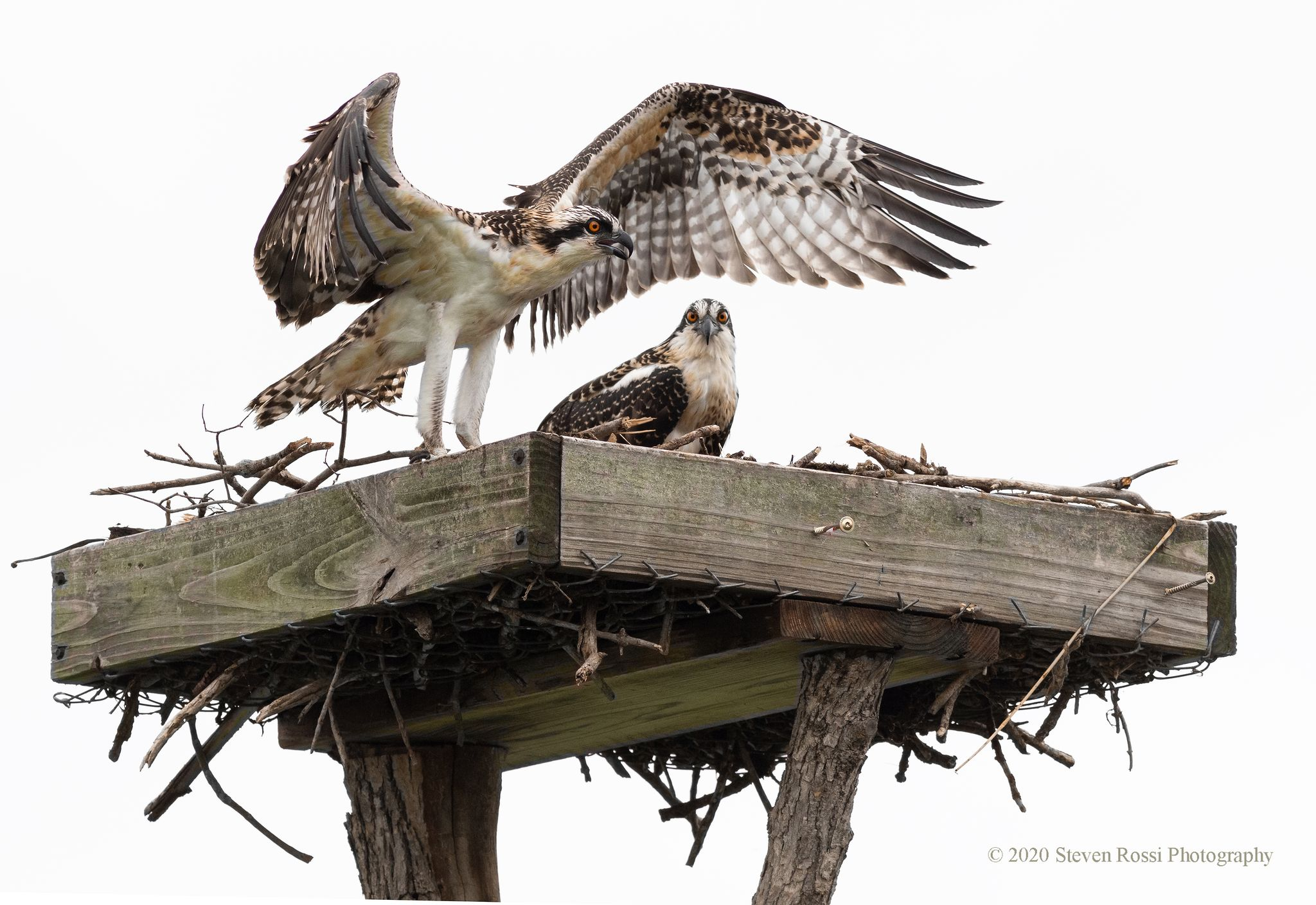 Rescue of Two Osprey Chicks