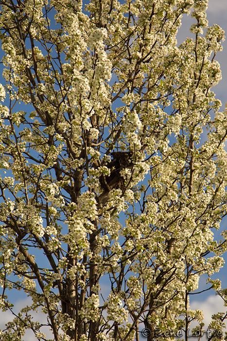 Arbre en fleurs - Pennsylvanie