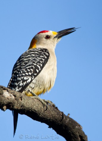 Pic à front doré - Golden-fronted Woodpecker