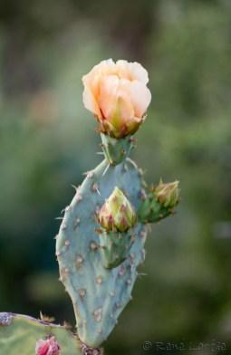 Cactus en fleur le long du sentier à Fort Stockton