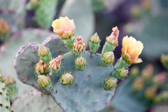 Cactus le long du sentier à Fort Stockton
