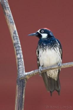 Pic glandivore - Acorn Woodpecker
