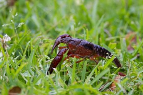 Le fameux crawfish (écrevisse) louisianais, c'est pas une légende. Il se promène dans le gazon.