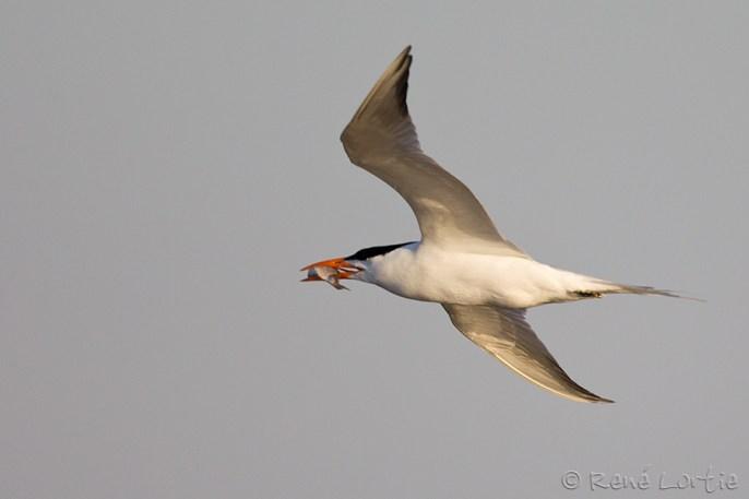 Sterne royale - Royal Tern