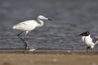 Aigrette roussâtre (forme blanche) , Galveston