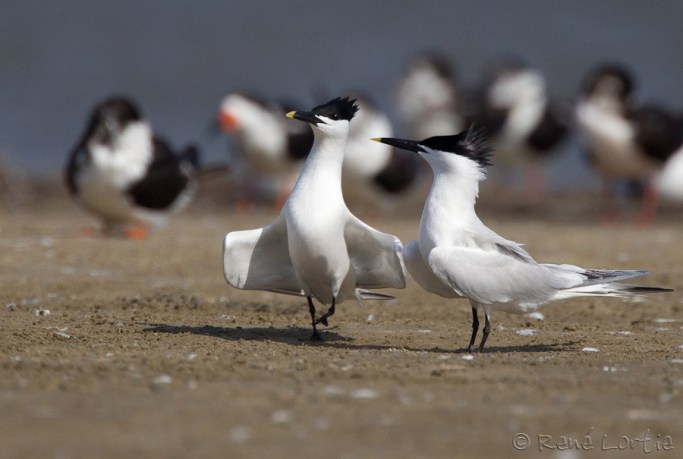 Sternes caugeks / Sandwich Terns - Galveston, Texas