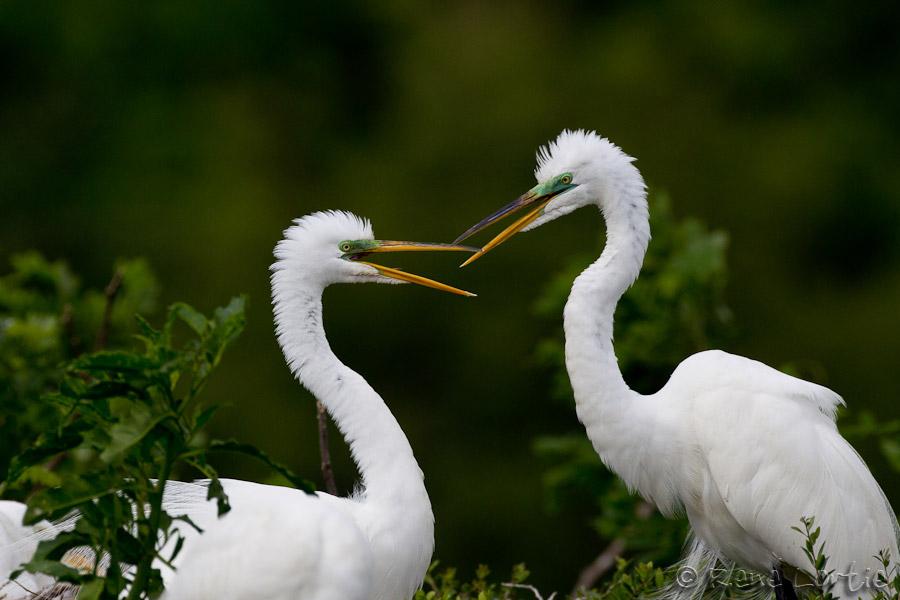 Grandes aigrettes - Great Egrets