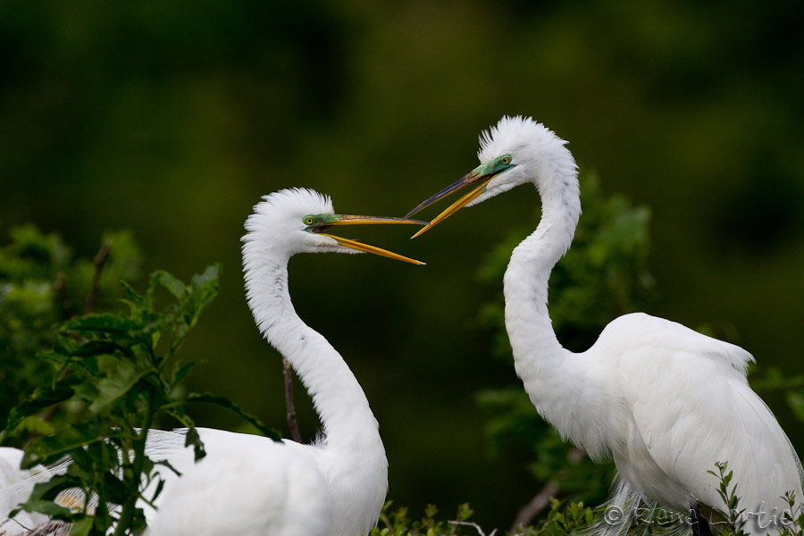 Grandes aigrettes - Great Egrets