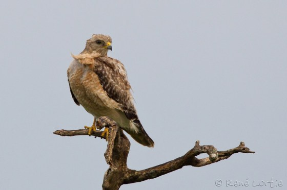 Petite buse - Broad-winged Hawk