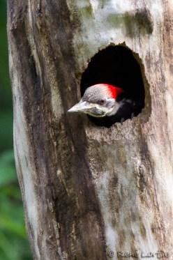 Grand pic dans son nid
