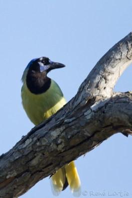 Geai vert - Green Jay