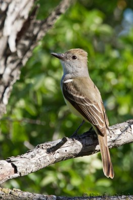 Tyran de Wied - Brown-crested Flycatcher