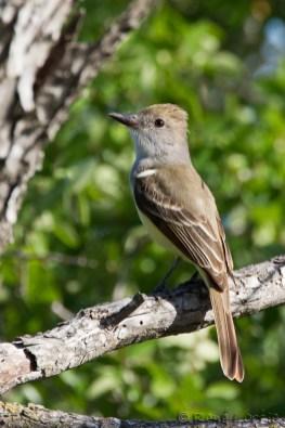 Tyran de Wied - Brown-crested Flycatcher