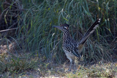 Grand géocoucou - Greater Roadrunner