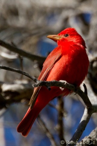 Piranga vermillon / Summer Tanager / Piranga rubra
