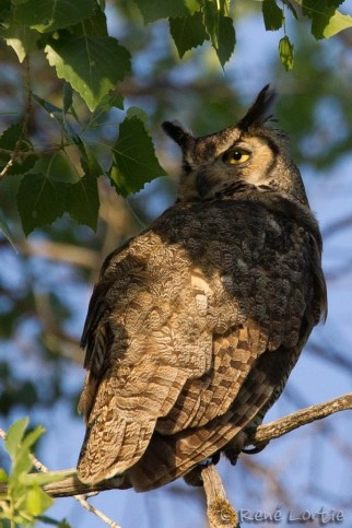 Grand-duc d'Amérique / Great Horned Owl / Bubo