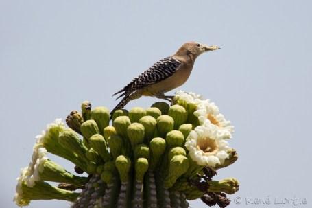 Pic des saguaros - Gila Woodpecker