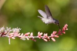 Colibri - Hummingbird