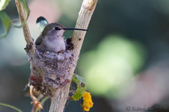 Colibri nichant - Nesting Hummingbird