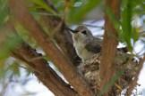 Jeune colibri au nid