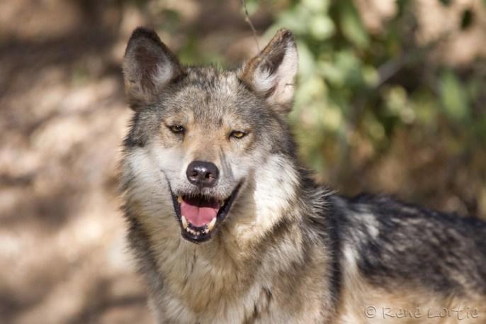 Loup du Mexique - Mexican Wolf