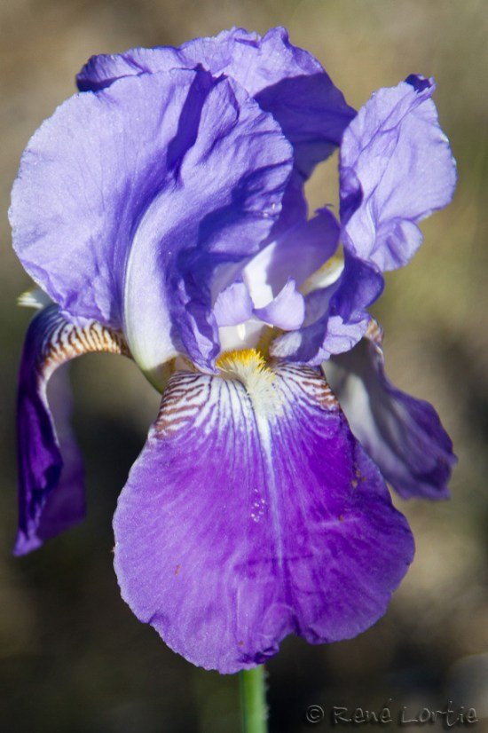 L'iris au camping à Flagstaff