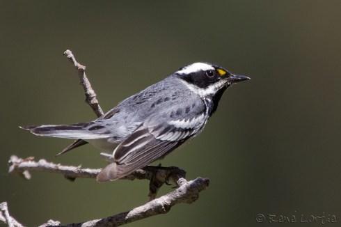Paruline grise - Black-throated Gray Warbler